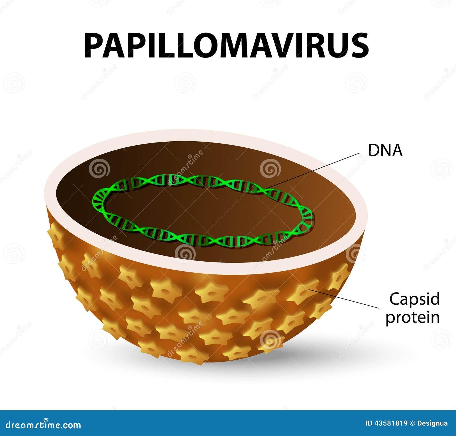 papillomavírus vírusfertőzés)